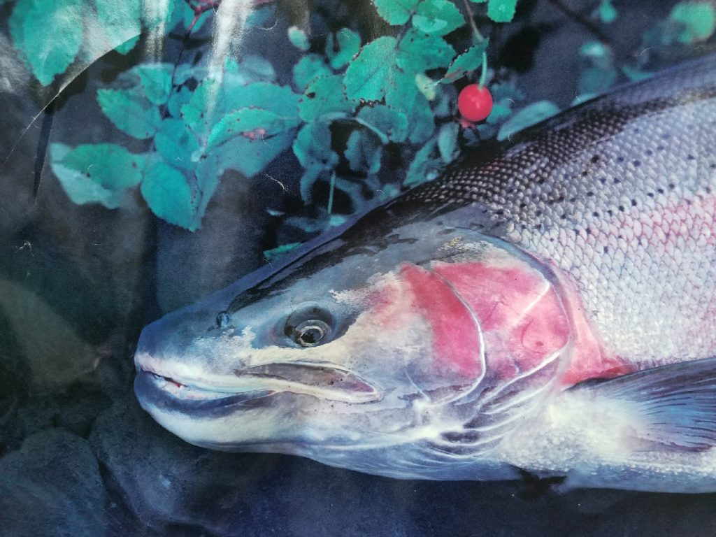 fall steelhead, fall salmon, fall fishing, michigan rivers